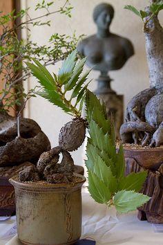 Cyphostemma segmentatum   by Cactus and Succulent Society of America
