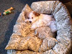 teddy bear puppy cuteness!!! My Luna doona
