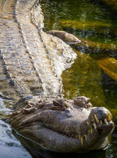 1000 Images About Alligator And Crocs On Pinterest