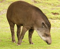 Funny Wildlife | Forums. Blogs, Sites, Photos Tapir by kevin-64 on Flickr.#Nature#Photo