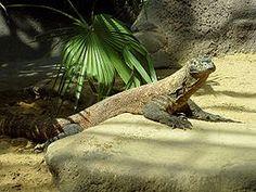 VARAN KOMODSKÝ - je nejmohutnější žijící zástupce ještěrů a v současnosti je ohrožen