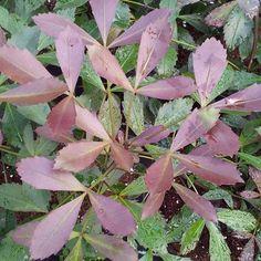 pseudopanax purpurea - Google Search