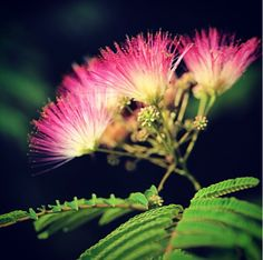 """Mimosa is a """"weedy"""" tree throughout much of the country. The flowers and bark are used for insomnia, anxiety, and restlessness. Many people find it to be a powerful antidepressant. The bark is used topically as an anti-inflammatory."""