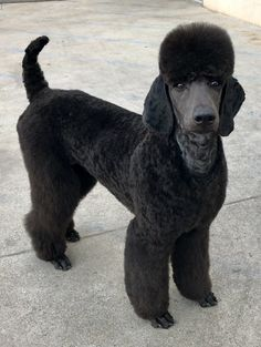 Another interesting Standard Poodle clean face and ears