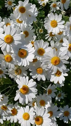 Husband supposed to buy me some Daisys and plant in the yard since he sprayed the ones I had with Roundup and killed them all.
