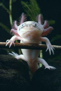 These little animals with funny faces are called Axolotl. They are found in deep lakes and freshwater channels in Mexico. The cool thing about these creatures is that they never fully go through metamorphosis, but stay in the larva stage; this gives them the ability to regenerate any limb!