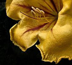 A Solandra Maxima, planta trepadeira, com flores amarelas que dão belos pormenores na folhagem lustrosa. Cresce rápido e é fácil de reproduzir por estaca
