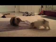 nothing more adorable in the world than when lop bunnies binky --> Bunnies: Nature's clowns. - YouTube