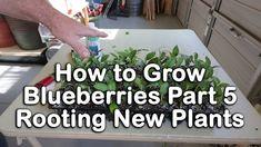 How to grow Blueberry Bushes Part 5 - How to Root Blueberry Plants (Blueberry Propagation) Planting In Sandy Soil, Planting In Clay, Planting Seeds, Blueberry Plant, Blueberry Bushes, Berry Plants, Fruit Plants, Veg Garden, Fruit Garden