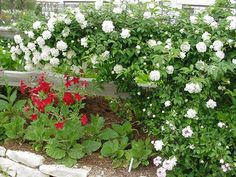 Roses: How To Plant by Everett E. Janne Texas A&M University