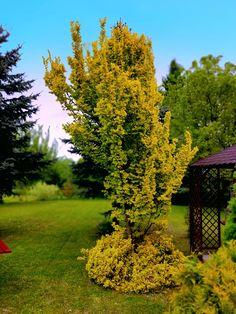 😮 Wiecie, ze niektóre gatunki wiązu mogą osiągnąć aż 40 metrów wysokości!? Macie jakieś duże okazy w swoich ogrodach?  🌳 Ten ze zdjęcia jest znacznie mniejszy, ale ma za to przepiękny, złocisty kolor liści 🍂  #wiąz #drzewaozdobne #sadzonki #rośliny #wiązholenderski Fruit, Plants, Plant, Planets