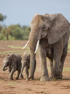 a Female African Elephant with Two Small Babies. by Nigel Pavitt : Wild Animals Photography, Elephant Photography, Elephants Photos, Save The Elephants, Baby Elephants, Cute Elephant Pictures, Elephant Pics, African Elephant, African Animals
