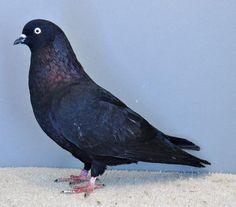 Dove Pigeon, Pigeon Bird, High Flying Pigeons, Gabbar Singh, Pigeon Pictures, Loft Design, Exotic Birds, Beautiful Birds, Wildlife