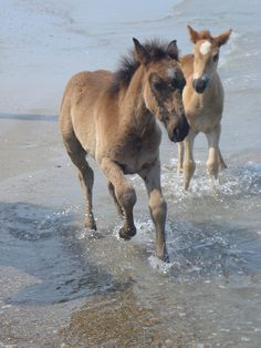 Two foals from the Corolla herd of wild mustangs play in the surf, Outer Banks, NC (photo by Rachael, via Flickr)
