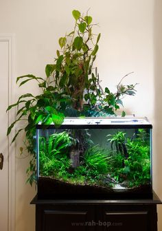 "rah-bizzle: ""My 29 gallon fish tank. Photos include past and present residents, but current stock is otocinclus catfish, rummynose tetras, blue rasboras (sundadanio axelrodi), chili rasboras (boraras. Aquarium Terrarium, Nature Aquarium, Planted Aquarium, Fish Tank Terrarium, Aquascaping, Betta Fish Tank, Aquarium Fish Tank, Fish Tanks, 29 Gallon Aquarium"