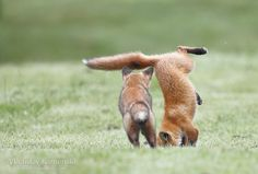That's a fox version of a headstand 365 days fox marathon Day 341 #365daysfoxmarathon #photography #wildlife