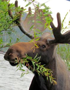 Bull moose near Grand Lake, Colorado