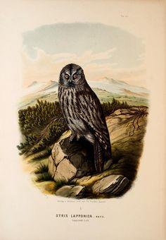 https://flic.kr/p/xxu4ej | n126_w1150 | Die Raubvögel Deutschlands und des angrenzenden Mitteleuropas;. Cassel [Germany]Verlag von Theodor Fischer,1876.. biodiversitylibrary.org/page/47850816