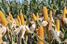 Gracias a la mejora genética y al perfeccionamiento de otras técnicas, hoy el cereal puede encontrarse en gran parte del país. Especialistas ponen énfasis en prácticas que conserven y extiendan la productividad alcanzada: reducir la presión de las pl