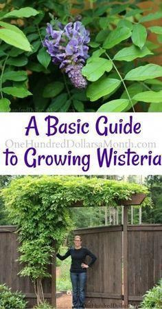 Basic Guide To Growing Wisteria One Hundred Dollars A Month Wisteria Plant Growing Vegetables Organic Vegetable Garden
