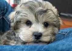 Milo the Poodle Mix