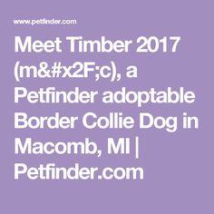 Meet Timber 2017 (m/c), a Petfinder adoptable Border Collie Dog in Macomb, MI | Petfinder.com