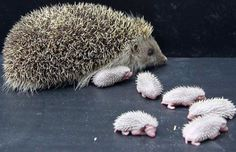 Hedgehog mum & babies