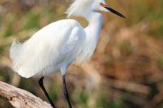 Snowy Egret: Don't miss out on an opportunity to see these graceful birds before they leave for the winter. | Missouri Conservationist