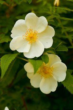 Rosa pimpinellifolia by Peter Karlsson, via Flickr