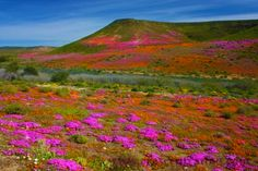Wildflowers In Bloom, Namaqualand, South Africa. Stock Image - Image of daisies, colour: 21228745 Flowers Nature, Wild Flowers, Beautiful Landscapes, Beautiful Scenery, Cover Photos, West Coast, South Africa, Tourism, National Parks