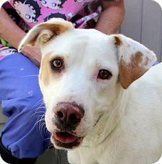 Yardley, PA - Labrador Retriever/Pointer Mix. Meet Dani, a dog for adoption. http://www.adoptapet.com/pet/16972452-yardley-pennsylvania-labrador-retriever-mix