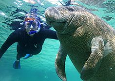 Plantation on Crystal River | Crystal River, FL  swim with the manatees Diving and Snorkeling