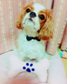 こないだお台場でゲットした首輪🐶💓 ネコちゃん用だけど可愛い蝶ネクタイ🐶🎀 ちょっと曲がってるのはご愛嬌♡笑  #キャバリアキングチャールズスパニエル#キャバリア#cavalier#cavalierkingcharlesspaniel#cavalife#alice#dog#baby#puppy#犬#ふわふわ#ふわもこ部#キャバリア部#my_sister#inustgram#いぬすたぐらむ#犬のいる生活#いぬバカ部#女の子#girl#天使#しゃくれ#あご#可愛い#蝶ネクタイ#チョーカー#首輪#リボン#ribbon