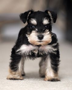 Ranked as one of the most popular dog breeds in the world, the Miniature Schnauzer is a cute little square faced furry coat. It is among the top twenty favorite Schnauzers, Mini Schnauzer Puppies, Miniature Schnauzer, Schnauzer Art, Beautiful Dogs, Animals Beautiful, Cute Animals, Baby Dogs, Pet Dogs
