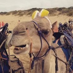 Did the Easter Bunny come to you?  #easternbeach #lakesentrancecamelrides #camelrides #camelride #camels #australiancamels #bucketlist #easter #easterbunny #happyeaster by australiancamels http://ift.tt/1JtS0vo