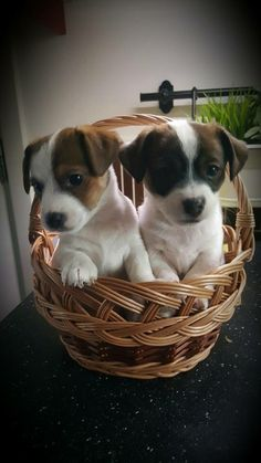 Cute Jack puppies I'll take 2 please.