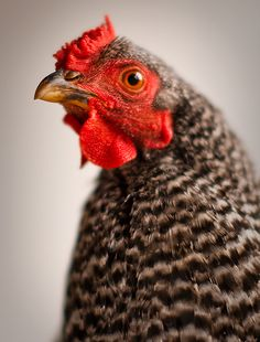 The Chicken: A animal that has no voice, no choice about how long it lives, but my decision may make this little guy stay alive, even a little bit longer.