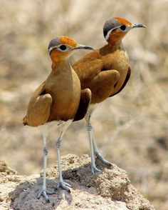Burchell's Courser (Cursorius rufus) by Chantelle_Bosch.