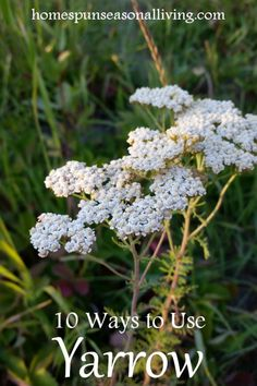 Holistic Health Remedies Harness the healing power of plants with these 10 ways to use yarrow for use in external and internal home remedies to slow bleeding, reduce fevers, Holistic Remedies, Natural Health Remedies, Natural Cures, Natural Healing, Herbal Remedies, Natural Treatments, Natural Oil, Natural Foods, Natural Products