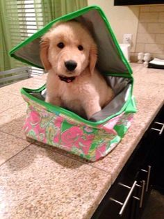 This lil golden retriever inside Lilly Pulitzer makeup case