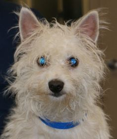 . . . in need of a hair cut.  This is Bernardo who's at PAWS, a no-kill shelter in Chicago.  12.2.12