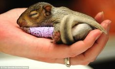 Baby Squirrel In A Tiny Purple Cast - Home - Staple News