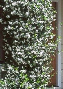 Star Jasmine makes a great privacy screen when allowed to climb a trellis or fence