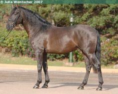 Lusitano - stallion Zingaro Interagro