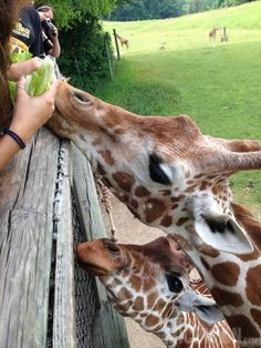 Feeding Giraffes at #BinderParkZoo in Battle Creek, #Michigan