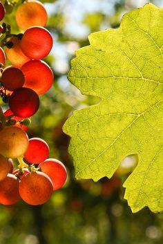 Nuevo: ¡Lenguaje del vino!. Los taninos del vino: ¿Qué son y qué aportan? http://www.puracepastyle.es/blog/los-taninos-del-vino-que-son-y-que-aportan/  #vino #curiosidades #conocimientos #bodegas #winelovers #aprender