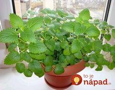 Herb Garden, Home And Garden, Medicinal Herbs, Korn, Cactus Plants, Plant Leaves, Remedies, Gardening, Health