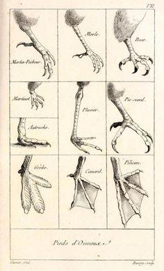 Tableau Elementaire de l'Histoire Naturelle des Animaux par Georges Cuvier, 1798.