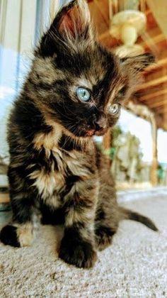 It iz Monday. so here iz some kittens (Gallery) - Monika Baeuerle - It iz Monday. so here iz some kittens (Gallery) It iz Monday. so here iz some kittens (Gallery) - Cute Kittens, Cutest Kittens Ever, Fluffy Kittens, Cute Kitten Pics, Cutest Pets, Fluffy Dogs, Pretty Cats, Beautiful Cats, Animals Beautiful