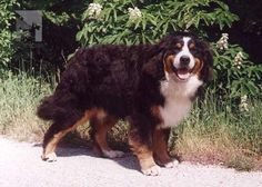 Bernese Mountain Dog - Janipan HERO OF THE DAY  | from Balihara Ranch